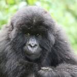 P.N. de los Volcanes. Gorilas de montaña.